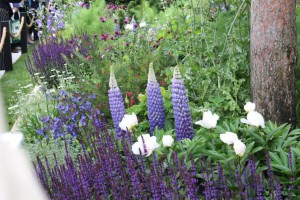 Lupins and salvias sm